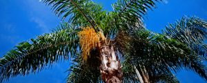 Healthy queen palm trees requires proper care