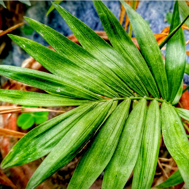 Queen palm frond with luscious green leaves