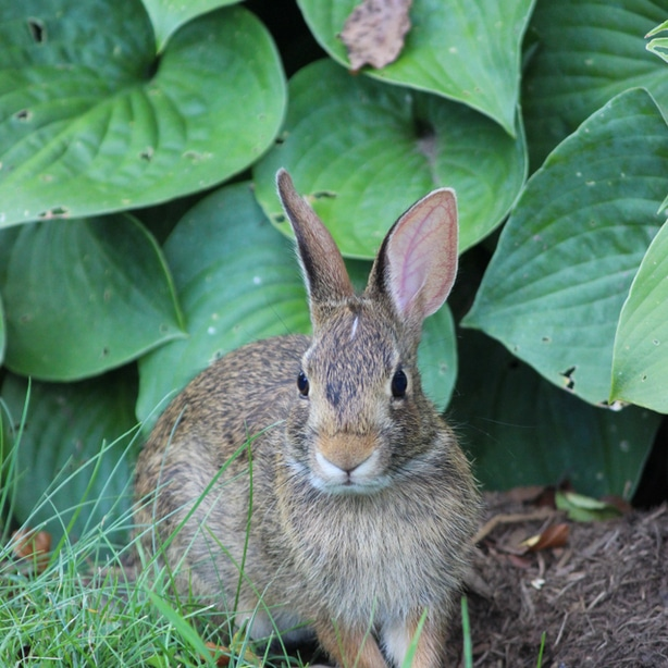 Rabbits are notorious offenders of damaging hostas.