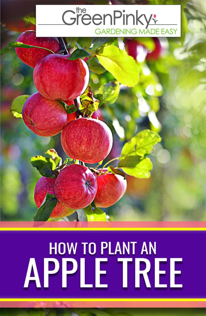 Raising an apple fruit tree requires proper sun, maintenance, watering, and planting.