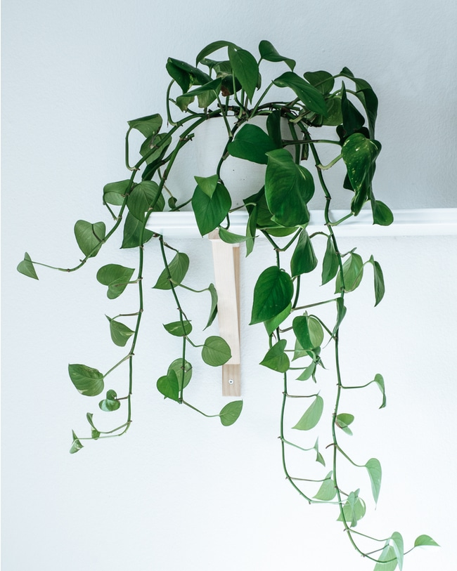 Indoor care and design of an ivy plant.