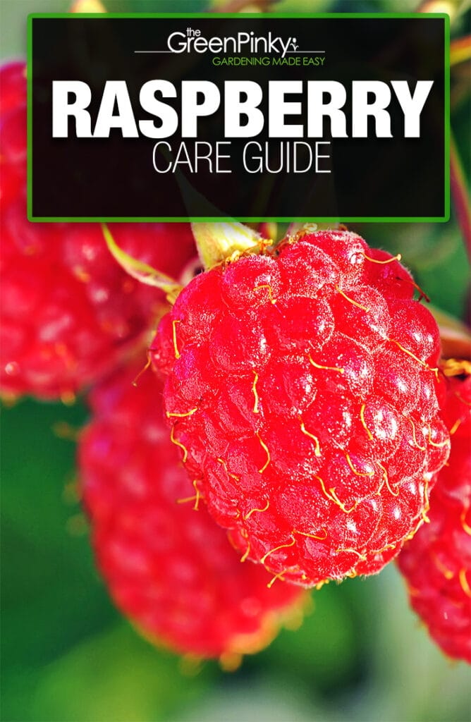 With proper maintenance, raspberries can become juicy and sweet.