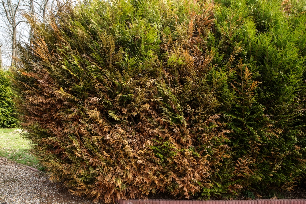 Thuja bush browning means an underlying problem
