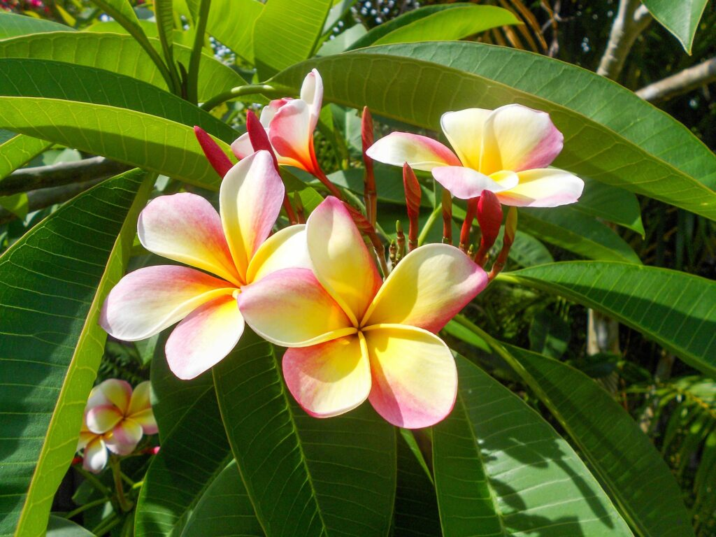 Recommended nutrients for plumeria will result in strong roots