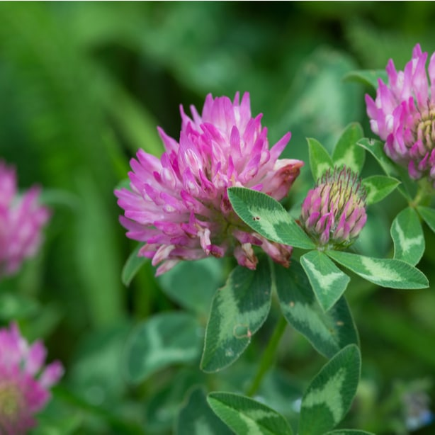 Red clover weeds are much like common clover and need to be removed