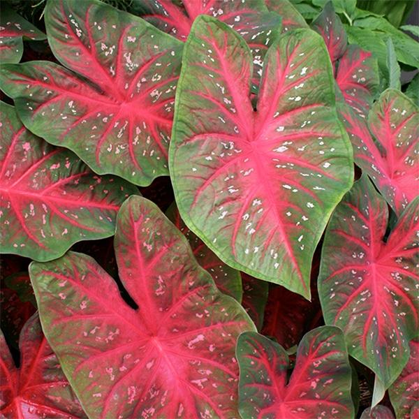 Red flash caladium has unique red leaves.