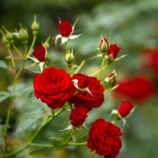 Roses that are infected may not produce as many flowers or may be less hardy
