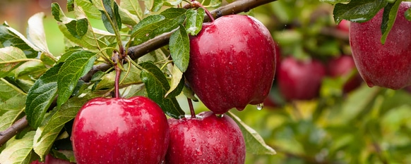 Guide to Planting an Apple Tree