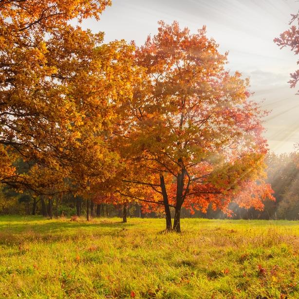 Red oak tree growing in a field with proper sun.