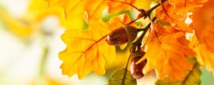Beautiful red oak tree leaves with an acorn
