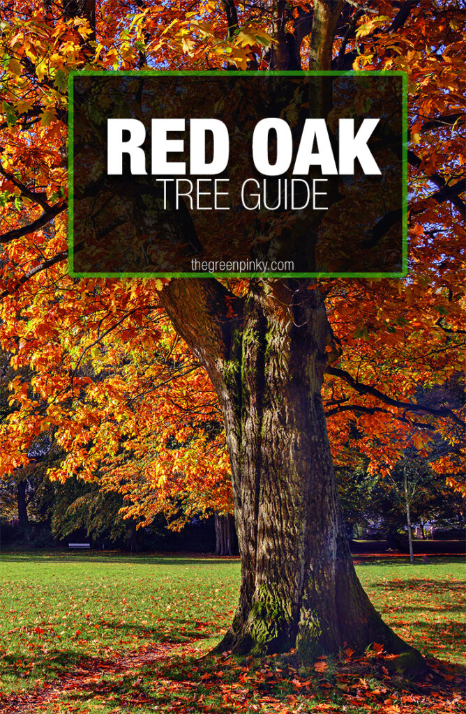 Red oak trees grow optimally when given proper care
