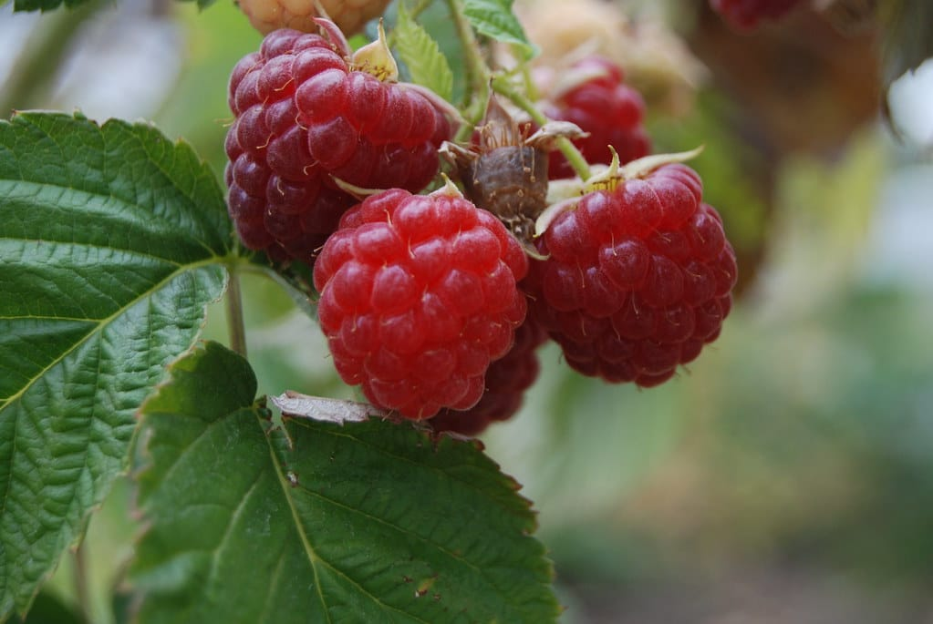 These raspberries hanging from the stem are ready to be harvested