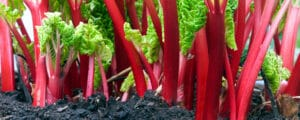 Tart red stalks growing robustly with the help of a maintenance guide.