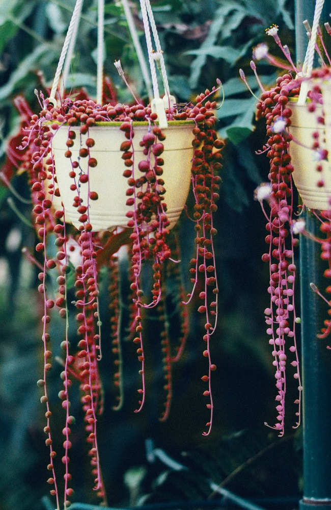 Red string of pearl plants are fake and so are any other exotic colors.