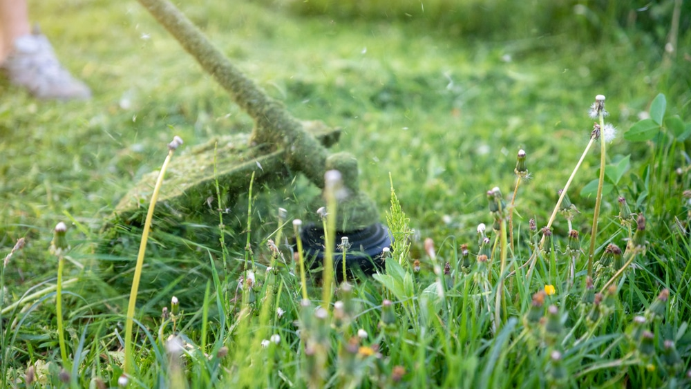 Weed whackers or weed eaters can spread dandelion seeds and also destroy grass. Pictured here is someone using a wheed wacker hitting a bunch of dandelions