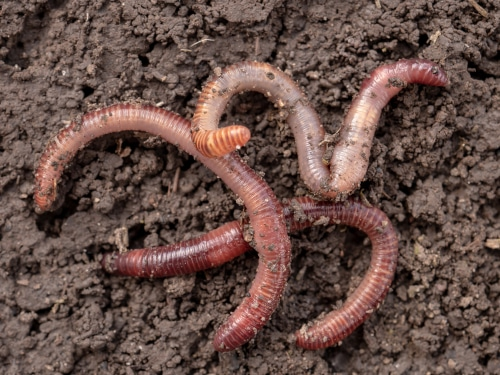 Earthworms that should be gotten rid of
