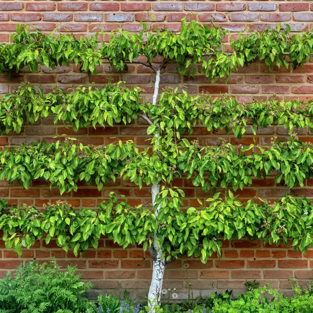 When pruned correctly, this will create the structure that is not only beautiful but functional.