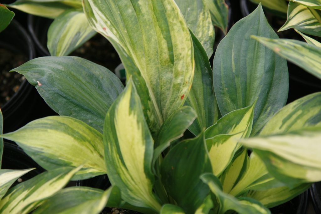 The revolution is a type of hosta with dark green margins.