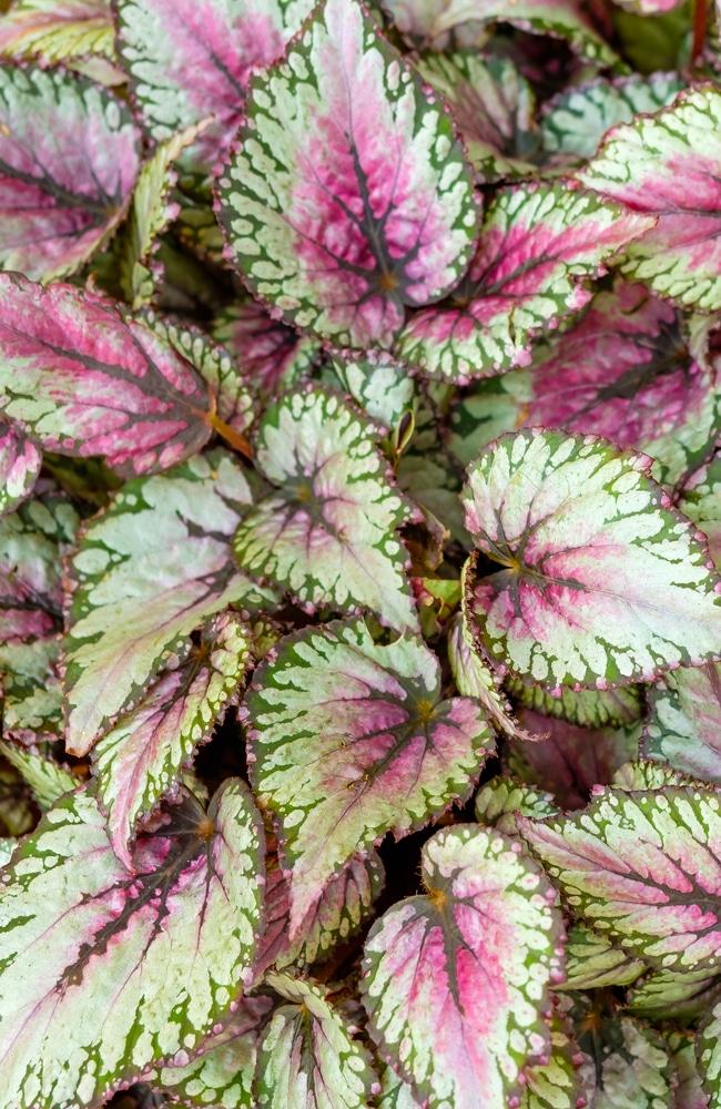 begonias rex-cultorum with beautiful leaves
