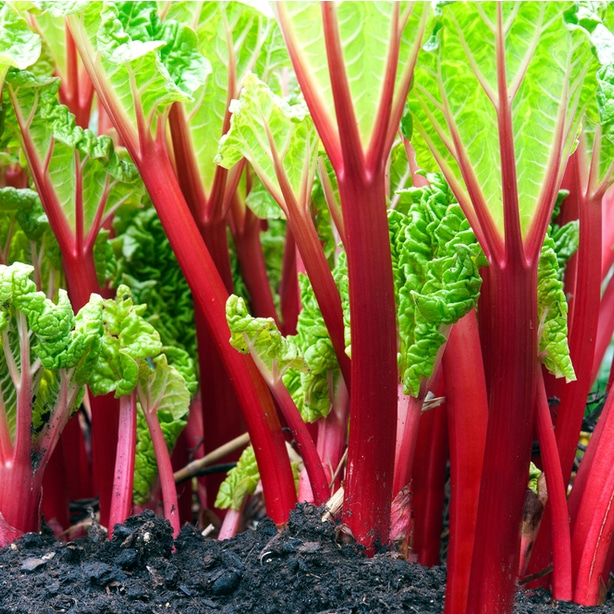 Rhubarb can be useful for deterring thrip and caterpillars