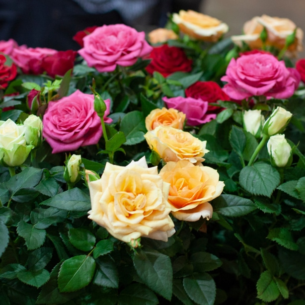Roses can be categorized based on many different features