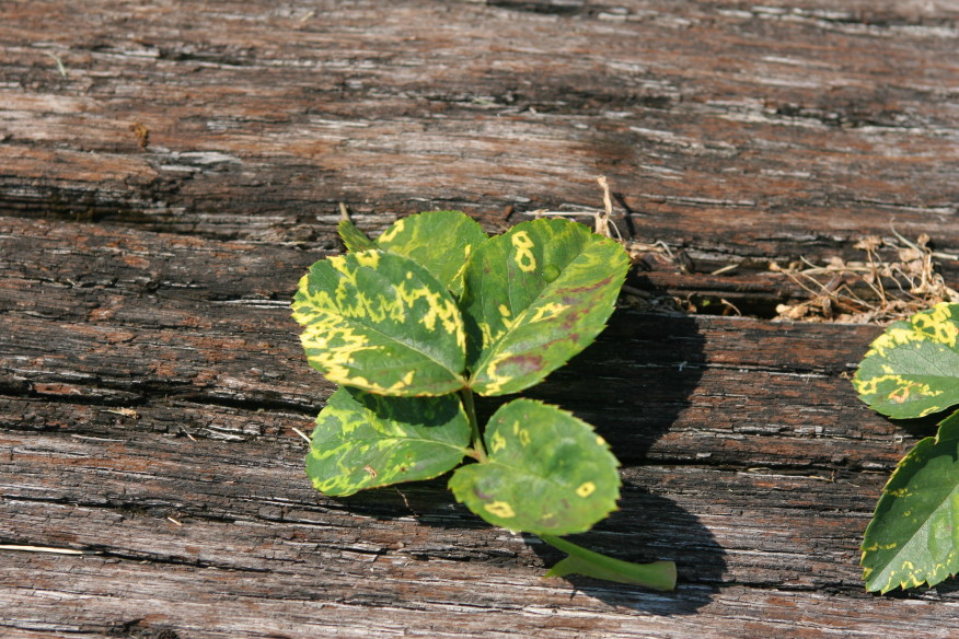 Mosaic virus is a virus that can create jagged patterns on leaves that there is no cure for.