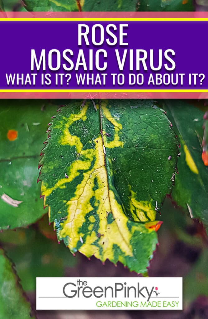 Rose mosaic virus is can infect rose plants and cannot be cured