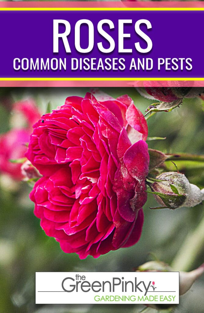 There are a couple common rose problems that should be properly dealt with using a guide.