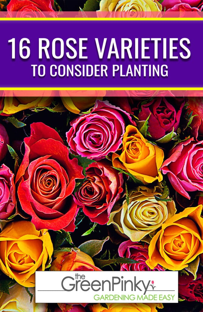 Picking a variety of rose to plant is made easier by sorting it into colors