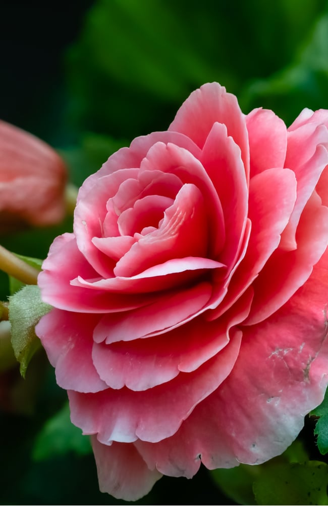 Roseform begonias are a stunning variety