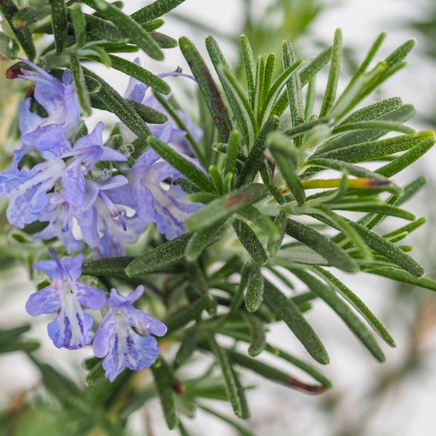 Rosemary flowers do not affect the taste.
