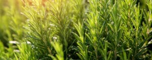 Rosemary optimal growth requires a grow guide