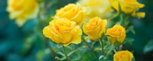Beautiful roses growing in a home garden