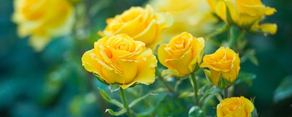 Rose Bush: How to Raise Your Own