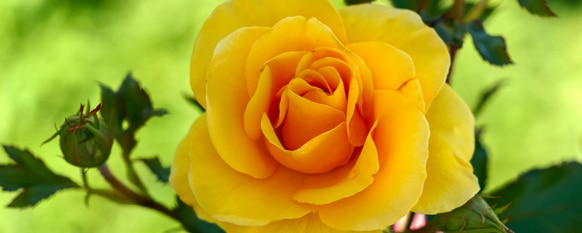 16 Rose Varieties That You Should Look Into