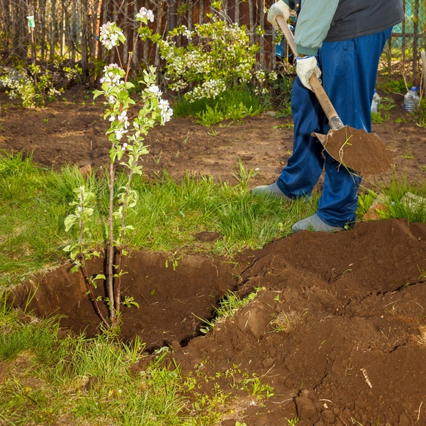 Use a rounded shovel to dig a hole to plant into.