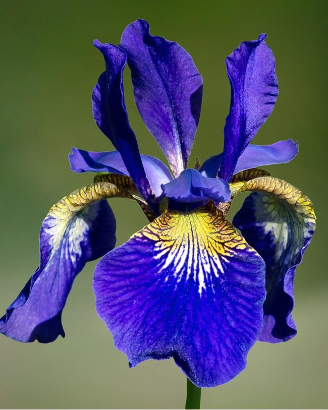 A dark purple ruffled velvet siberian iris with its multiple petals