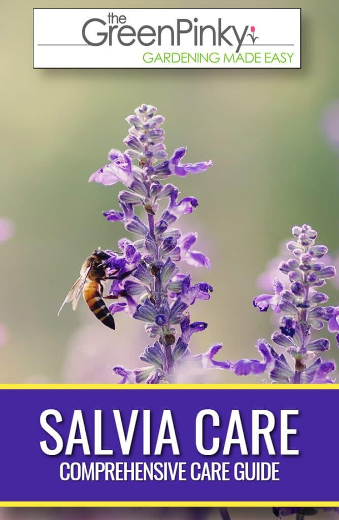 Beautiful salvia due to proper care guide.