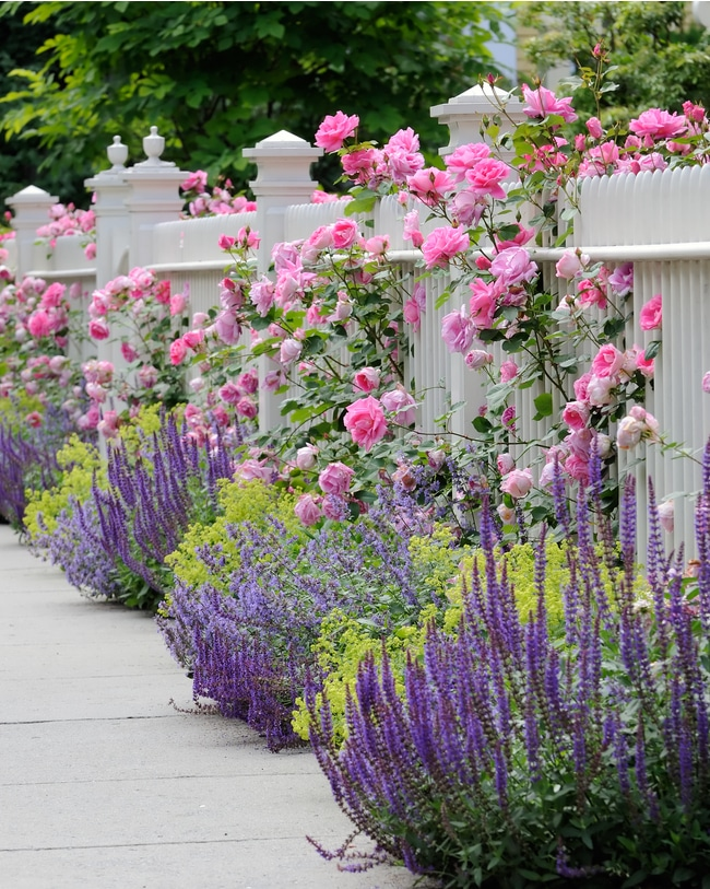 Salvia flowers pair well with many plants and flowers in the garden.
