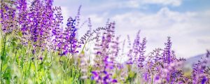 Salvias grow tall when receiving adequate sun exposure