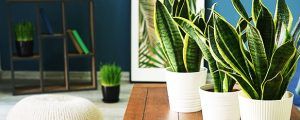 Sansevieria trifasciata laurentii care guide will help it grow healthily