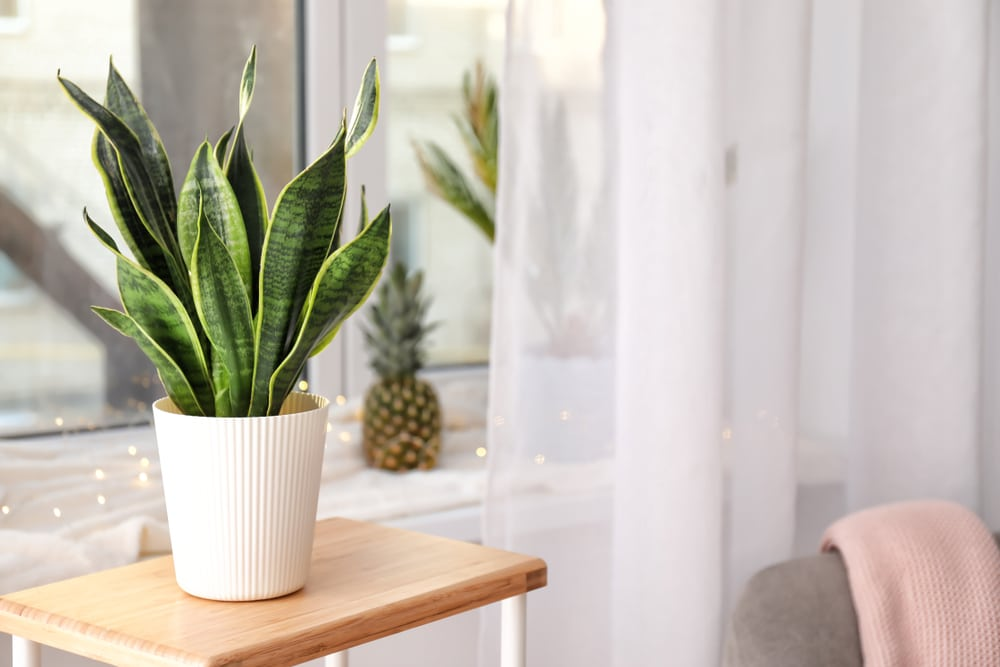 Sansevieria growing robustly with proper watering frequency