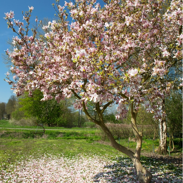 Saucer magnolia in the spring with petals falling onto the ground.
