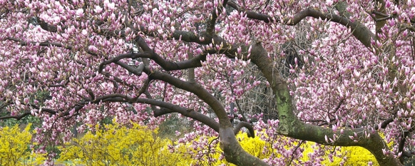 Saucer magnolia in full bloom with its pink flowers