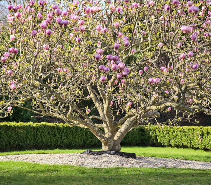 A saucer magnolia in the frontyard of a house acting as a focal point for the landscape.
