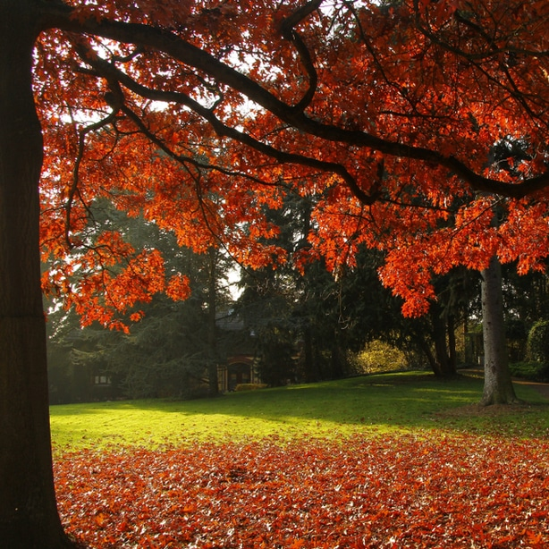 Scarlet oak tree is one of the many different types of oak trees