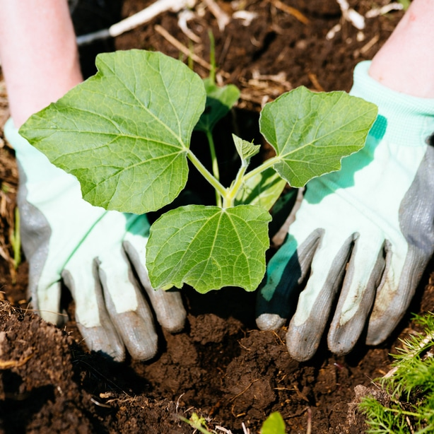 Seeds should be sowed roughly 3 inches apart so seedling are given enough space to grow.