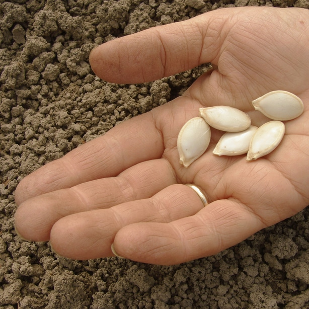 Plant seeds into mounds with 4-5 seeds per mound