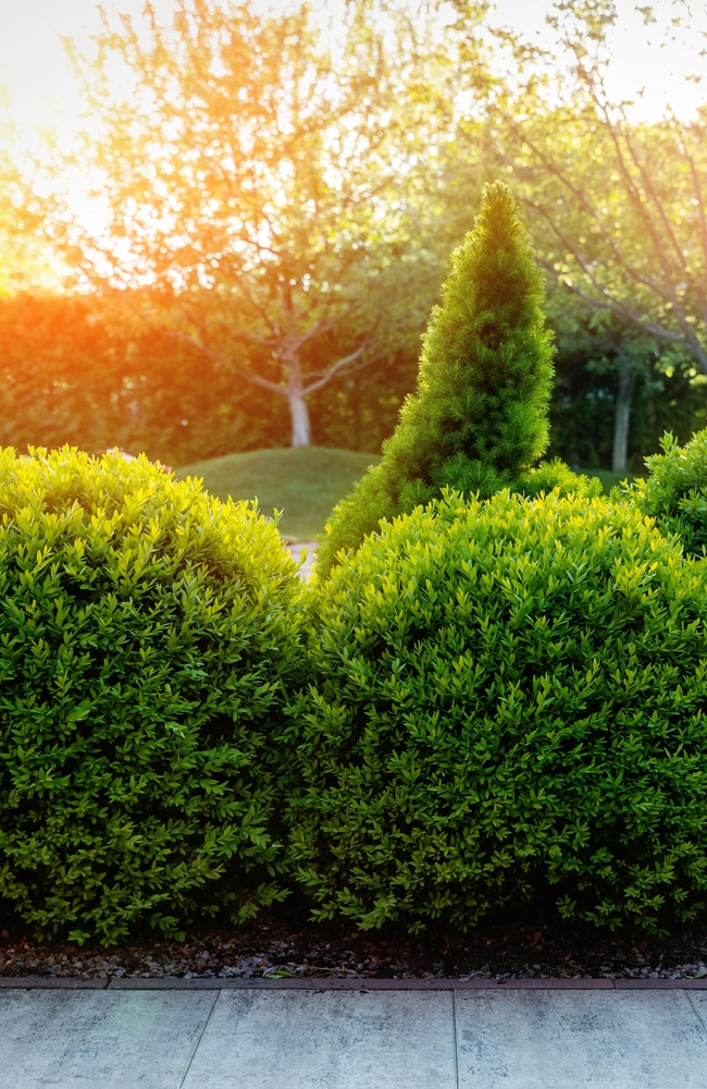 Shaped boxwoods are not difficult with the proper trimming guide