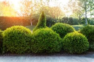 evergreen shrub in the landscape